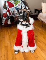 Pork Chops tries a Santa Claus suit with   Connie