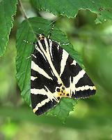 Jersey Tiger Moth - Euplagia quadripunctaria