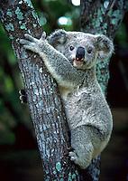 Climbing Koala, Lone Pine Koala Sanctuary, Brisbane, Queensland, Australia