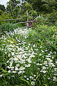 Ox-eye daisies (Leucanthemum vulgare) in the High Garden at Great Dixter, early June.