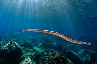 Chinese Sea Snake, Laticauda colubrina, with sun rays in background, Snake Ridge dive site, Gunung Api, near Alor, Indonesia, Banda Sea, Pacific Ocean