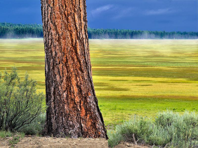 Ponderosa Pine tree and Klamath Marsh National Wildlife Refuge, Oregon.
