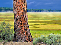Ponderosa Pine tree and Klamath Marsh National Wildlife Refuge, Oregon.