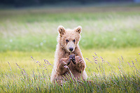 A brown bear (Ursus arctos) yearling enjoys playing in the grasses on a summer afternoon.  Katmai National Park.