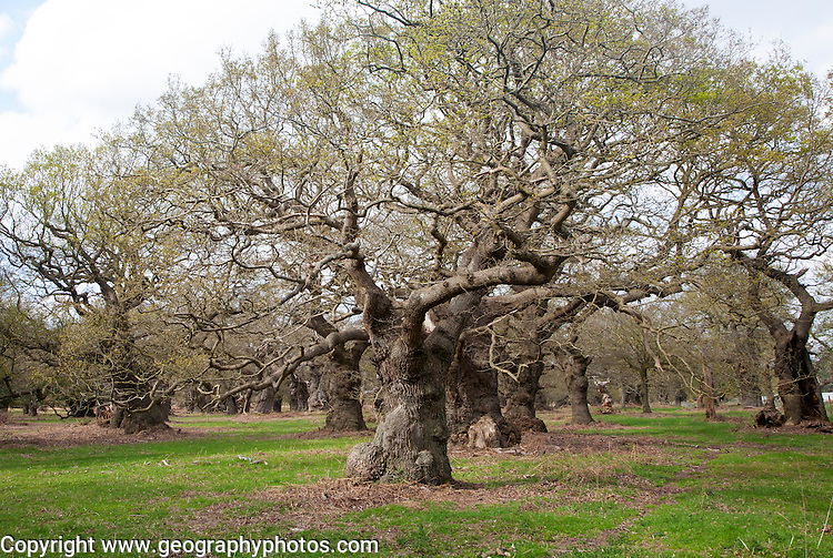 Ancient oak trees in historic deer park, Staverton, Suffolk, England