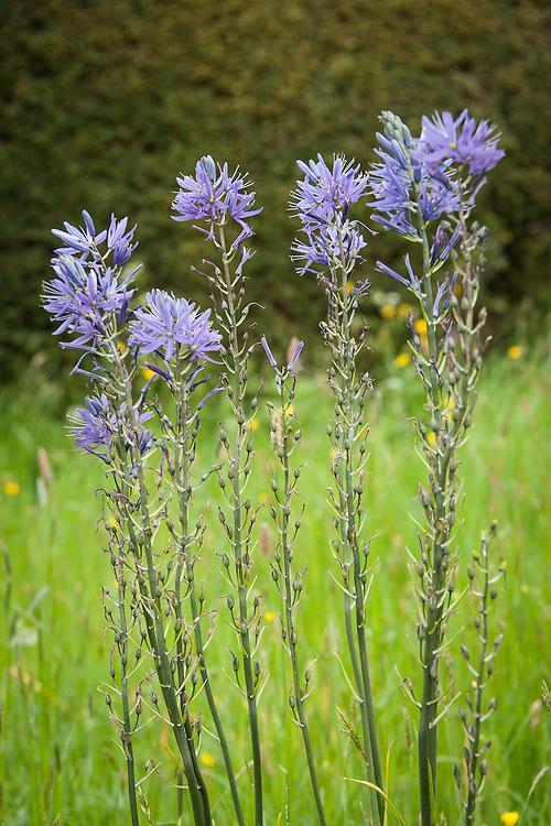 Camassia cusickii, Meadow Garden, Great Dixter, early May.