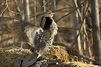Ruffed grouse (Bonasa umbellus) drumming in spring