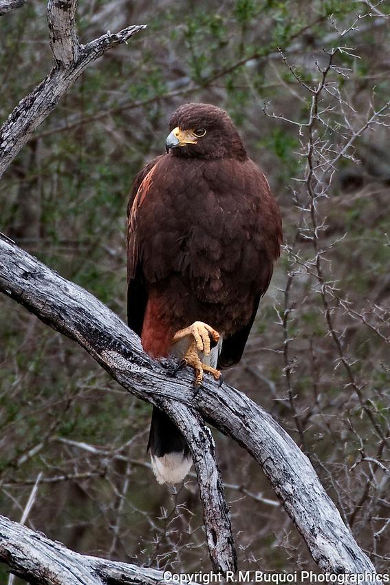 Harris's Hawk perched on limb