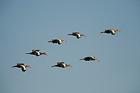 Black-bellied Whistling-Ducks in flight.