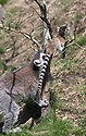 16/05/16<br /> <br /> &quot;That's it. Mummy's got you&quot;<br /> <br /> Three baby ring-tail lemurs began climbing lessons for the first time today. The four-week-old babies, born days apart from one another, were reluctant to leave their mothers&rsquo; backs to start with but after encouragement from their doting parents they were soon scaling rocks and trees in their enclosure. One of the youngsters even swung from a branch one-handed, at Peak Wildlife Park in the Staffordshire Peak District. The lesson was brief and the adorable babies soon returned to their mums for snacks and cuddles in the sunshine.<br /> All Rights Reserved F Stop Press Ltd +44 (0)1335 418365