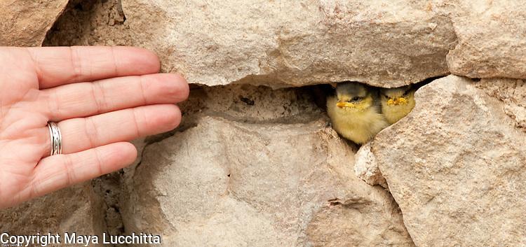Fledgling Great Tits, birds, fledglings, hatch-lings, hatchlings, babies, yellow, beaks, rocks, Badenweiler, Germany, Roman ruins, Roman baths, hand Badenweiler, Germany