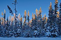 Hoarfrost and snow covered trees in the boreal forest<br />