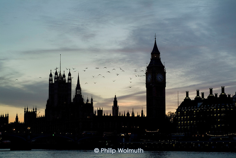 A flock of gulls flies past Big Ben and the Houses of Parliament