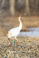 00881-00406 Whooping Crane (Grus americana) Federally endangered species feeding Effingham Co. IL