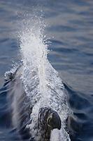 White beaked Dolphin Lagenorhynchus albirostrisbreaking surface at speed to breath Spitzbergen Arctic Norway