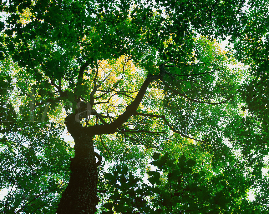 Ancient sugar maple tree in northern hardwood forest, Crosby-Manitou State Park, Minnesota