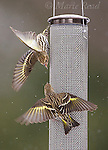 Pine Siskins (Carduelis tristis), aggressive behavior at nyjer (thistle) seed feeder, New York, USA