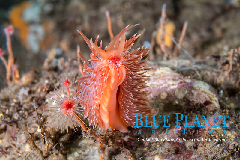 Flabellina aeolis, Flabellina sp., Peirce Island, New Hampshire, USA, Atlantic Ocean. Feeding on a hydroid. It is an undescribed species.  AKA Red-gilled Nudibranch and Verrilli.