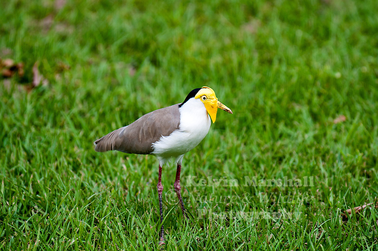 Masked lapwing (Vanellus miles), also known as the masked plover and often called the spur-winged plover or just plover in its native range, is a large, common and conspicuous bird native to Australia, particularly the northern and eastern parts of the continent, and New Zealand. It spends most of its time on the ground searching for food such as insects and worms and has several distinctive calls.