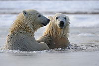Two polar bear cubs swim in slush ice along a barrier island outside Kaktovik, Alaska. Every fall, polar bears gather near the community, on the northern edge of ANWR, waiting for the Arctic Ocean to freeze. The bears have become a symbol of global warming.