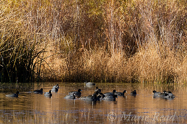 American Coots (Fulica americana), flock swimming on a pond in autumn, Mono Lake Basin, California, USA