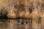 American Coots (Fulica americana), flock swimming on a pond in autumn, Mono Lake Basin, California, USA