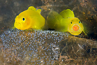 Yellow Goby, Lubricogobius exiguus, mating pair, tending and guarding its eggs, Tulamben, Bali, Indonesia, Indo-Pacific Ocean