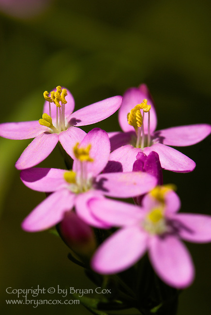 European Centaury (Erythraea centaurium), coast mountain range, Oregon