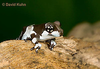0305-0907  Froglet, Amazon Milk Frog (Marbled Tree Frog), Trachycephalus resinifictrix (formerly: Phrynohyas resinifictrix)  © David Kuhn/Dwight Kuhn Photography