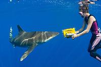 Oceanic White Tip shark Carcharhinus longimanus Mozambiquean channel Chris Fallows, Africa