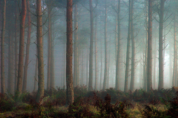 A forest of pine trees in mist