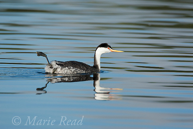"Clark's Grebe (Aechmophorus clarkii), breeding plumage, performing ""foot waggle"", thought to function both as a comfort behavior and thermoregulation, California, USA"