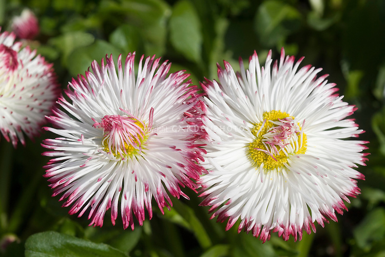 Bellis goliath white with red tips daisies plant flower stock bellis perennis goliath one of mix white with red tips perennial flowers closeup mightylinksfo