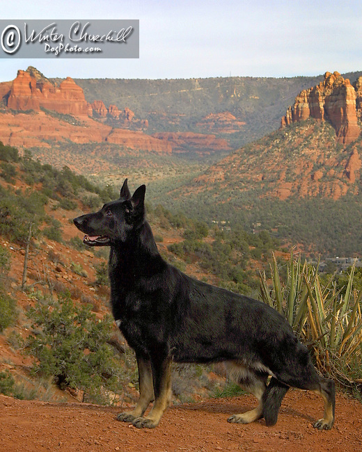 Black German Shepherd Dog in the desert mountains of Arizona Shopping cart has 3 Tabs:<br />