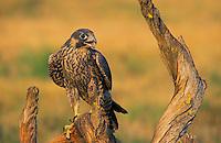 Peregrine Falcon..Summer.  Western North America(Falco peregrinus anatum)..