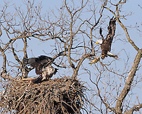 Adult bald eagle brings a fish to the eaglets in the nest near Llano, TX.  March 16, 2009