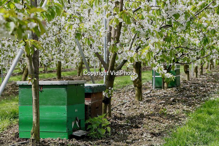 Foto: VidiPhoto..KESTEREN - Bijenkasten in de kersenboomgaard van fruitteler Van Capel uit Kesteren.