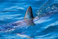 dorsal fin of Mako Shark, Isurus oxyrinchus, Cape Point, South Africa