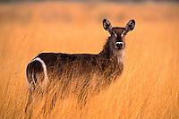 Waterbuck, Kobus ellipsiprymnus, Okavango Delta, Botswana, Africa