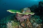 Plate coral (Acropora sp.) growing around a barrel sponge (Xestospongia testudinaria).