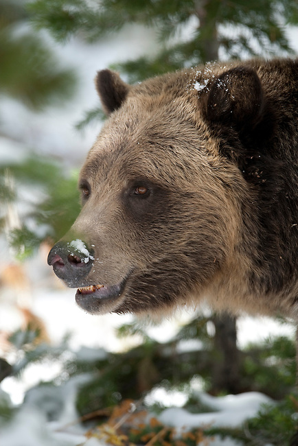A grizzly bear poses for a portrait in Yellowstone National Park, Wyoming, USA, January 10, 2009.  The bear was foraging for pine nuts.  Photo by Gus Curtis