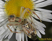 0118-07zz  Crab spider - Misumenops spp. - © David Kuhn/Dwight Kuhn Photography