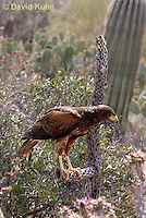 0405-1218  Harris's Hawk Perched Looking for Prey, Harris Hawk (Bay-winged Hawk or Dusky Hawk), Parabuteo unicinctus  © David Kuhn/Dwight Kuhn Photography