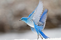 Male Mountain Bluebirds (Sialia currucoides) landing on late melting snowbank.  Western U.S., May.
