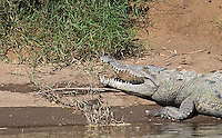 Large crocodiles are one of the attractions seen on the Tarcoles River.