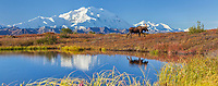Bull moose on the autumn colored tundra by a small kettle pond with the summit of Denali in the distance, Denali National Park, Alaska.