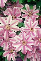 Climbing vine Clematis Nelly Moser, pink and white striped perennial flowers with very large 6-8 inch blooms