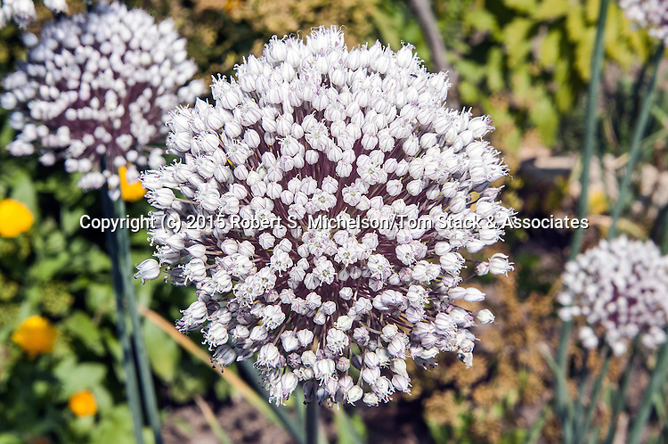 Allium close-up of flower head white color phase.