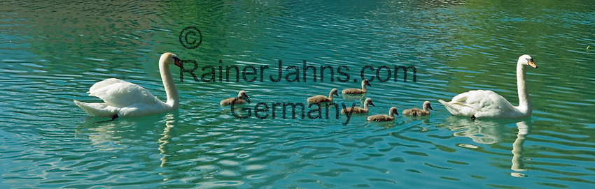 CHE, SCHWEIZ, Kanton Bern, Berner Oberland, Interlaken: Hoeckerschwanfamilie (Cygnus olor) mit sechs Jungen auf der Aare | CHE, Switzerland, Bern Canton, Bernese Oberland, Interlaken: mute swan family (Cygnus olor) with six chicks on river Aare