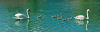 CHE, SCHWEIZ, Kanton Bern, Berner Oberland, Interlaken: Hoeckerschwanfamilie (Cygnus olor) mit sechs Jungen auf der Aare | CHE, Switzerland, Bern Canton, Bernese Oberland, Interlaken: mute swan family (Cygnus olor) with six chicks on river Aare